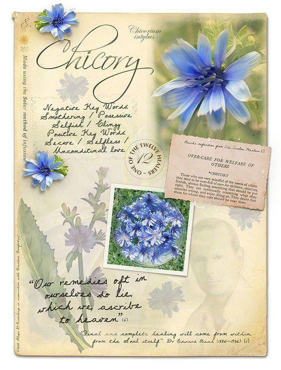 CHICORY - CICHORIUM INTYBUS
